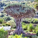 Árbol de dragón viejo gigantesco Imagen de archivo