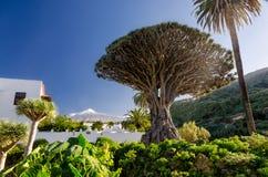 Árbol de dragón y Teide Imagen de archivo libre de regalías