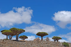 Árbol de Dragon Blood, Socotra, isla, el Océano Índico, Yemen, Oriente Medio Fotografía de archivo libre de regalías