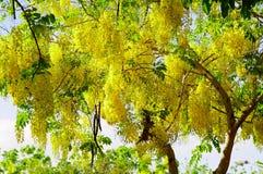 Árbol de ducha de oro Fotografía de archivo libre de regalías