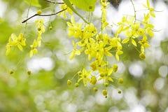 Árbol de ducha de oro Fotos de archivo libres de regalías