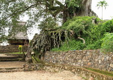 Árbol de Encient en museo al aire libre en Wologai Foto de archivo libre de regalías