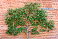 Árbol de Espalier y pared de ladrillo roja Imagen de archivo libre de regalías