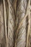 Árbol de estrangulador Fotografía de archivo libre de regalías
