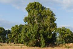 Árbol de eucalipto Foto de archivo libre de regalías