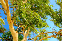 Árbol de eucalipto australiano Fotografía de archivo libre de regalías