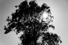 Árbol de eucalipto blanco y negro imagenes de archivo
