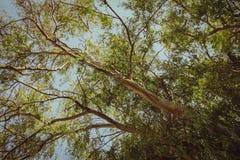 Árbol de eucalipto de debajo Foto de archivo