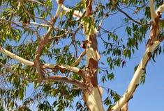Árbol de eucalipto de la peladura imagenes de archivo