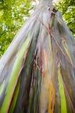 Árbol de eucalipto del arco iris Foto de archivo