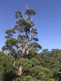Árbol de eucalipto gigante Fotografía de archivo