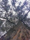 Árbol de eucalipto grande Foto de archivo libre de regalías