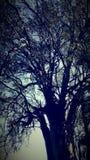 Árbol de Eucaliptus Fotos de archivo