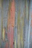 Árbol de Eucaliptus del arco iris en Hawaii Fotos de archivo libres de regalías