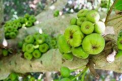 Árbol de Ficus Carica, árbol del racemosa de los ficus fotos de archivo libres de regalías