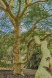 Árbol de fiebre africano fotos de archivo