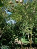 Árbol de fiebre del xanthophloea de Vachellia Fotos de archivo libres de regalías