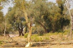 Árbol de fiebre en Suráfrica imágenes de archivo libres de regalías