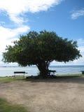 Árbol de Filao del mar Imagenes de archivo