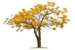 Árbol de Flamebuoyant, flor del pavo real Imagenes de archivo