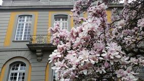 Árbol de florecimiento de Magnolie imágenes de archivo libres de regalías