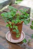 Árbol de fresa Fotografía de archivo libre de regalías