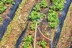 Árbol de fresa Foto de archivo