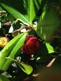 Árbol de fresa del Arbutus Fotos de archivo