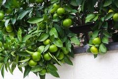 Árbol de fruta cítrica Imagen de archivo libre de regalías