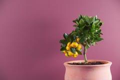 Árbol de fruta cítrica imagenes de archivo