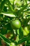 Árbol de fruta cítrica Imagen de archivo