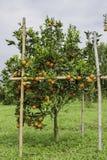 Árbol de fruta cítrica Fotos de archivo libres de regalías