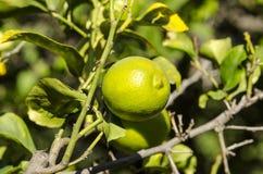 Árbol de fruta cítrica con la fruta Foto de archivo