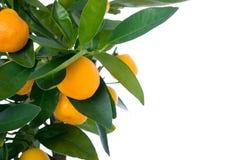 Árbol de fruta cítrica con la fruta - pequeña naranja Foto de archivo libre de regalías