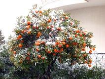 Árbol de fruta cítrica cubierto en nieve imagen de archivo libre de regalías