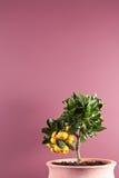 Árbol de fruta cítrica Potted con la fruta fotos de archivo libres de regalías