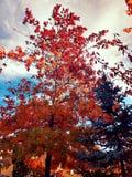 Árbol de fuego Foto de archivo