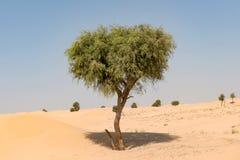 Árbol de Ghaf en paisaje del desierto con el cielo azul Fotos de archivo