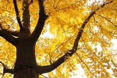 Árbol de Ginko Fotos de archivo libres de regalías
