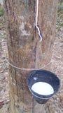 Árbol de goma Fotografía de archivo libre de regalías