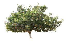 Árbol de goma Fotografía de archivo