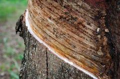 Árbol de goma Foto de archivo