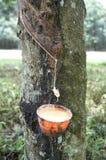 Árbol de goma Fotos de archivo libres de regalías