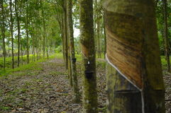 Árbol de goma (brasiliensis de la Hevea) Fotografía de archivo libre de regalías