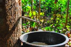 Árbol de goma con caucho natural en el descenso blanco del color de la leche al cuenco en el norte de Tailandia fotografía de archivo libre de regalías