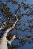 Árbol de goma contra el cielo azul Fotos de archivo libres de regalías