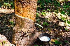 Árbol de goma del ¡de Parà Foto de archivo