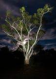 Árbol de goma eléctrico Imágenes de archivo libres de regalías