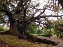 Árbol de goma (elastica) de los ficus - raíces largas Fotos de archivo libres de regalías