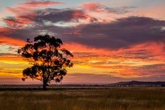 Árbol de goma en la puesta del sol, Sunbury, Victoria, Australia, diciembre de 2016 Foto de archivo
